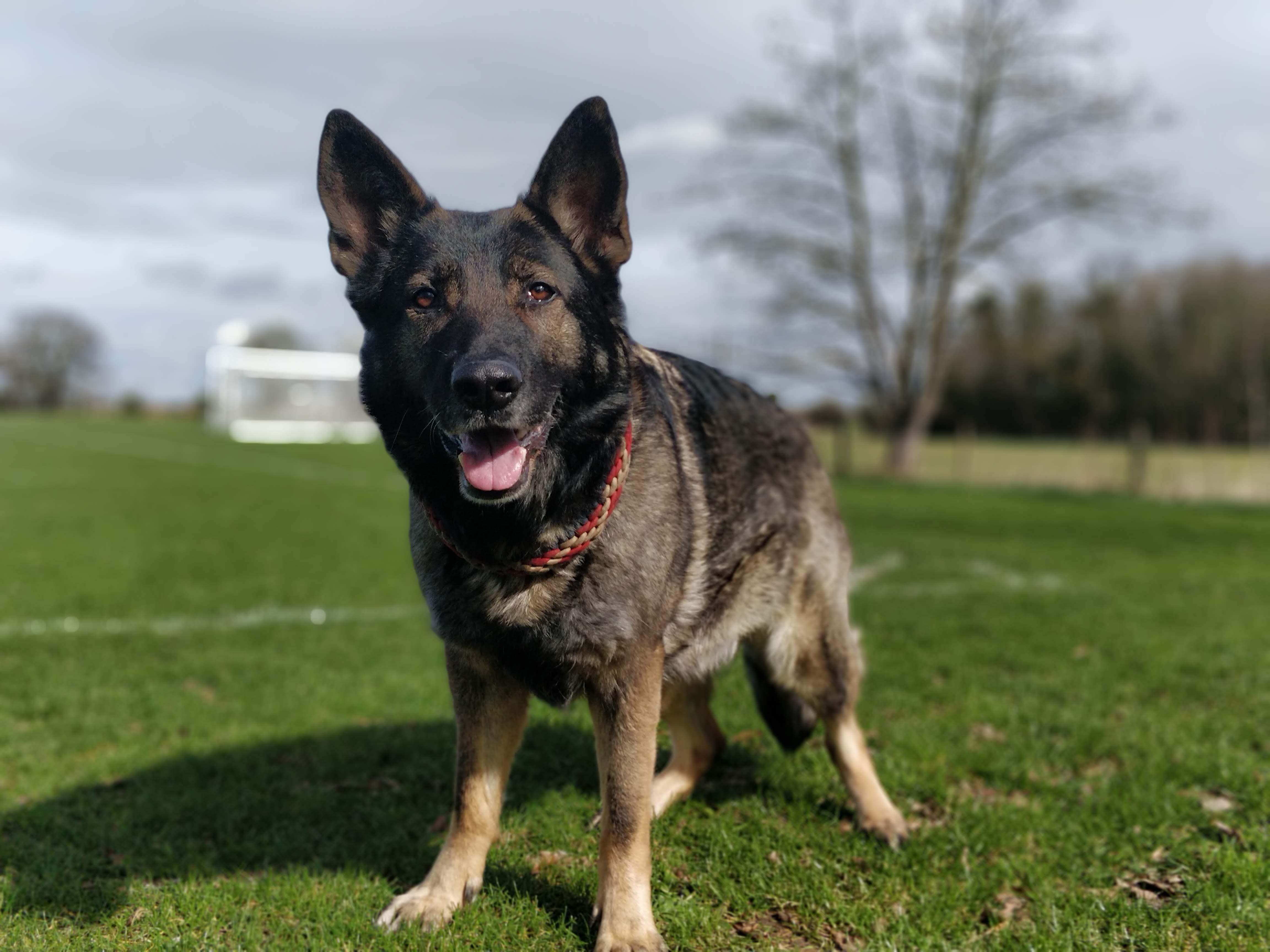 Ysis Pregnancy Update 6 Weeks Hohenburg Working German Shepherd Dogs